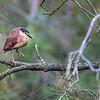 Nankeen Night-Heron (Nycticorax caledonicus)