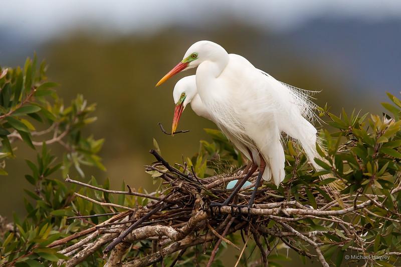 Intermediate Egrets Improving Nest