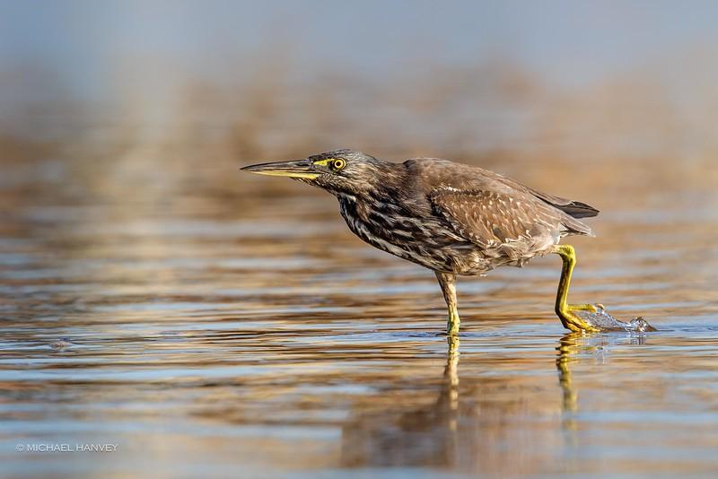 Striated Heron (Butorides striatus)