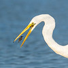Great Egret with Prawn