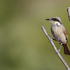 Singing Honeyeater (Lichenostomous virescens)