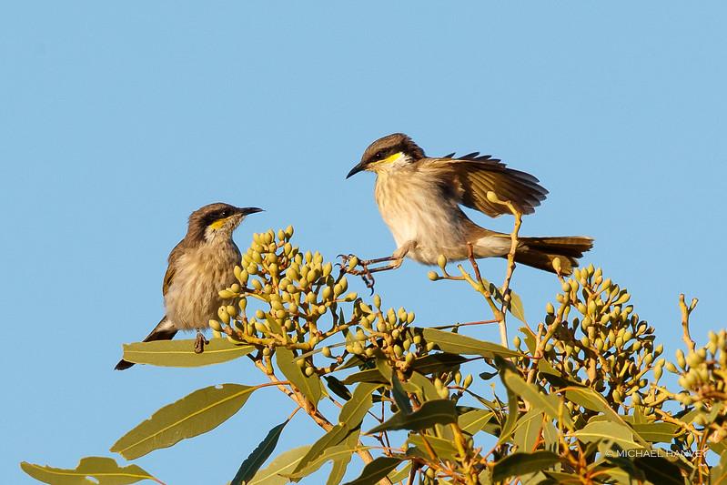 Singing Honeyeaters (Lichenostomus virescens)