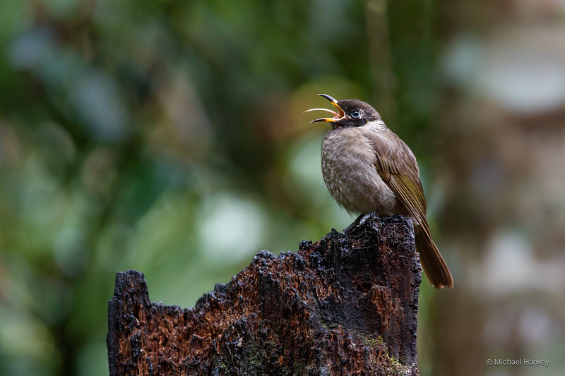 Bridled Honeyeater (Lichenostomus frenatus)