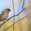 Yellow-faced Honeyeater (Lichenostomus chrysops)
