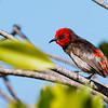 Red-headed Honeyeater (Myzomela erythrocephala)