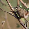 White-gaped Honeyeater (Lichenostomus unicolor)