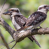 Muddy Laughing Kookaburras (Dacelo novaeguineae)