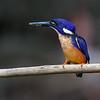 Azure Kingfisher (Ceyx azurea)