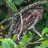 Papuan Frogmouth (Podargus papuensis)