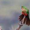 Australian King-Parrot (f) (Alisterus scapularis)