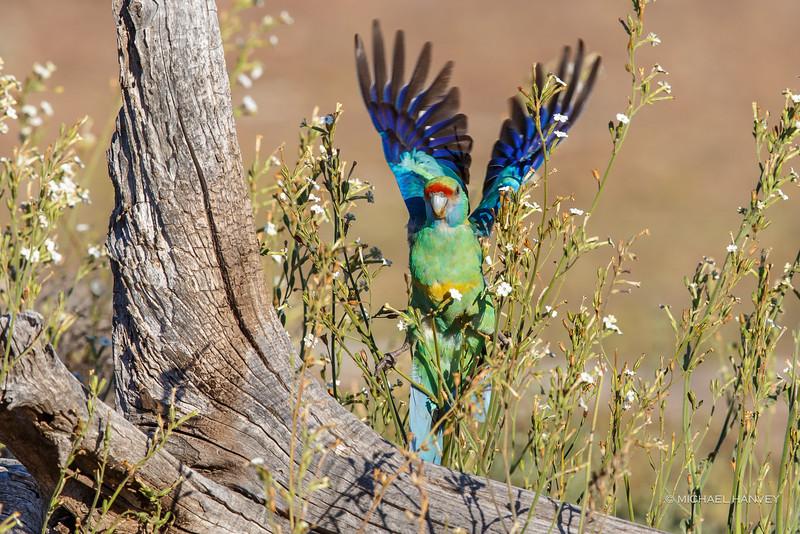 Australian (Mallee) Ringneck (Barnardias zonarius)