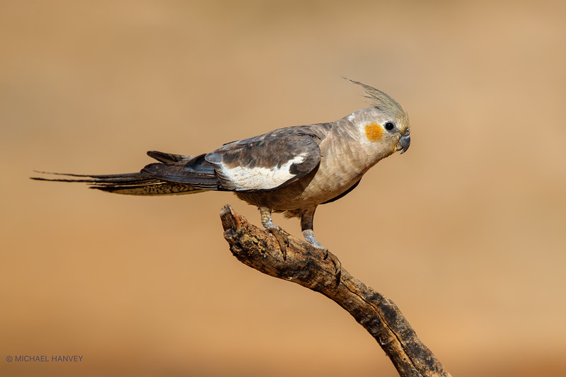 Cockatiel (Nymphicus hollandicus)