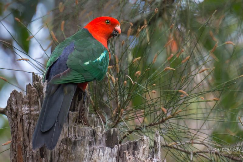 Australian King-Parrot (Alisterus scapularis)