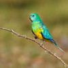 Male Red-rumped Parrot (Psephotus haematonotus)