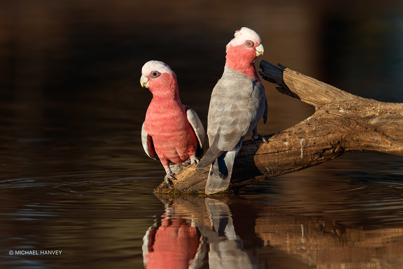 Male and Female Galahs (Eolophus roseicapillus)
