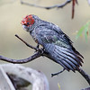Gang-gang Cockatoo (Callocephalon fimbriatum)