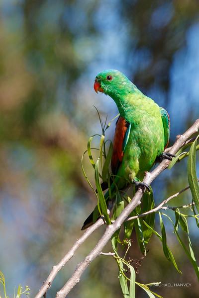 Red-winged Parrot (Aprosmictus erythroprterus)