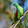 Red-winged Parrot (Aprosmictus erythroprterus)