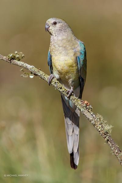 Female Red-rumped Parrot (Psephotus haematonotus)