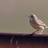 Horsfield's Bushlark (Mirafra javanica)