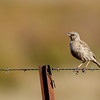 Brown Songlark (Cincloramphus cruralis)