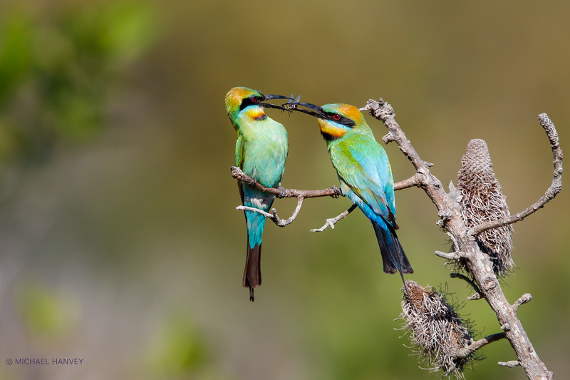 Rainbow Bee-Eaters (Merops ornatus)