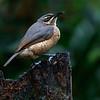 Victoria's Riflebird (f)