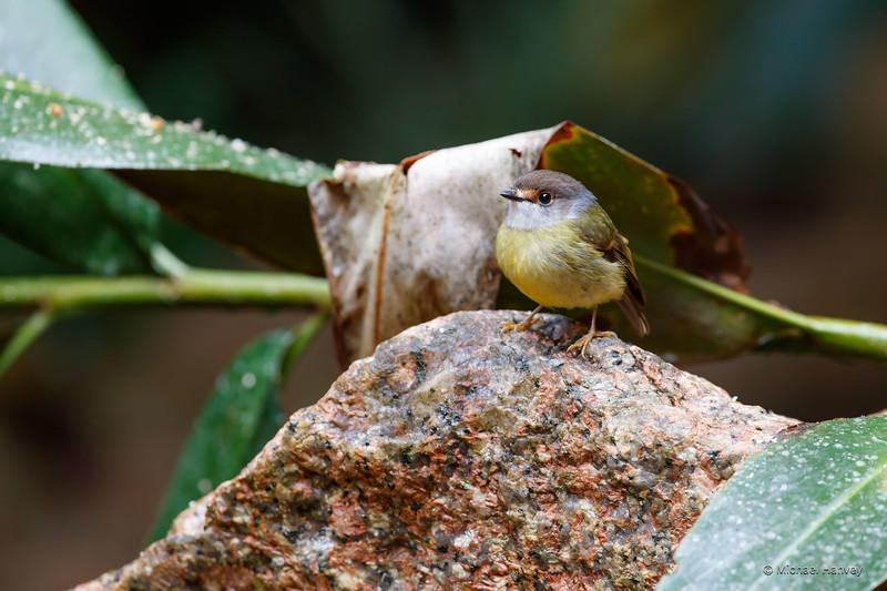 Pale-yellow Robin (Tregellasia capito)