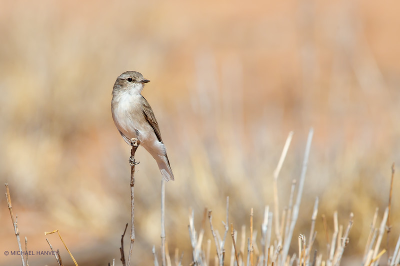 Jacky Winter (Microeca fascinans)