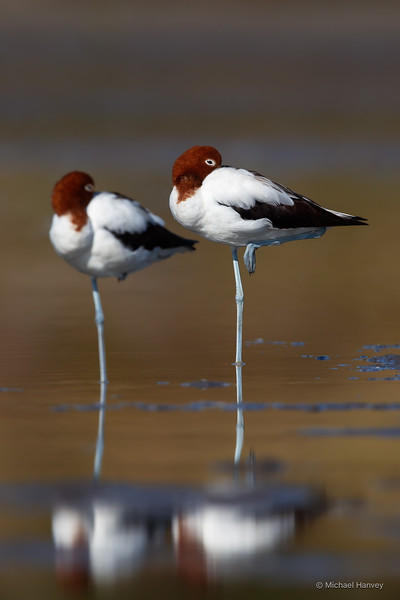 Red-necked Avocets (Recurvirostra novaehollandiae)