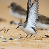Red-necked Stint (non-breeding)