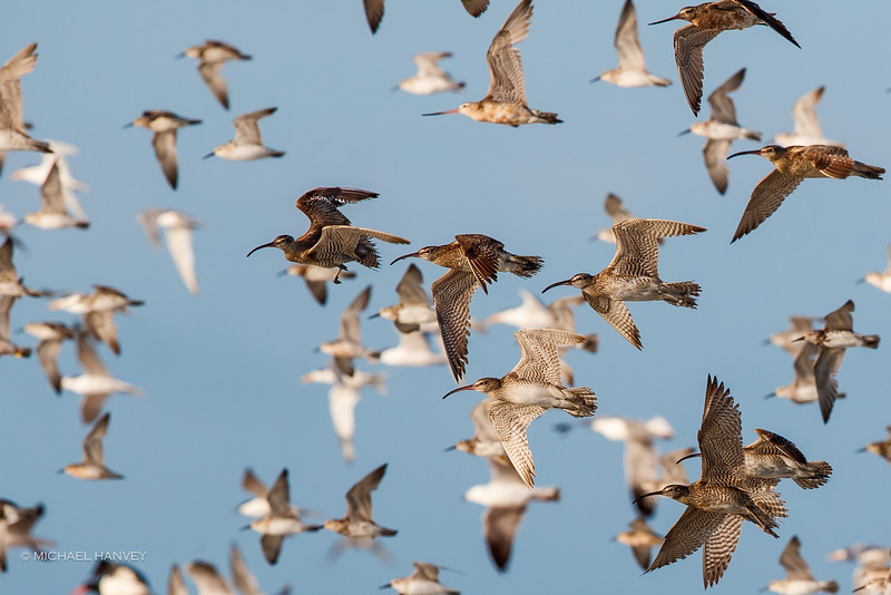Waders Flight - Roebuck Bay