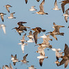 Waders Flight - Roebuck Bay