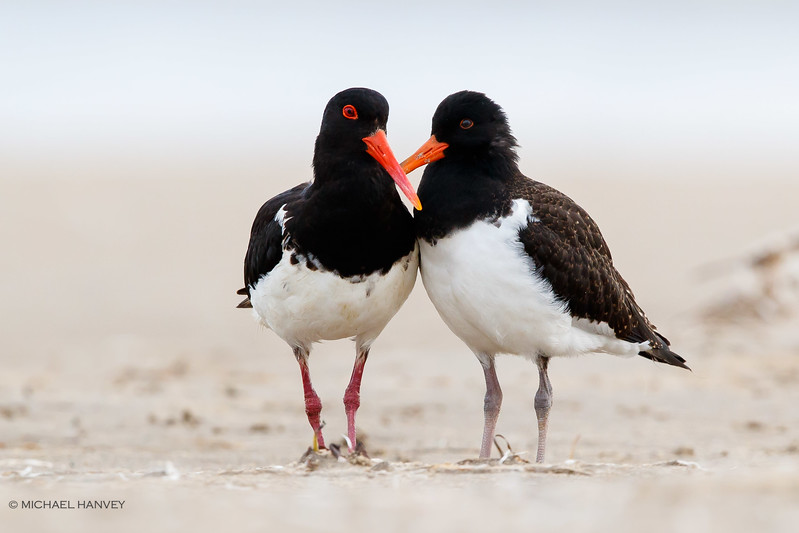 Australian Pied Oystercatchers (juvenile at right)