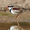 Black-fronted Dotterel with Grasshopper/Cricket