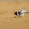Hooded Plover (Thiornis rubricollis)