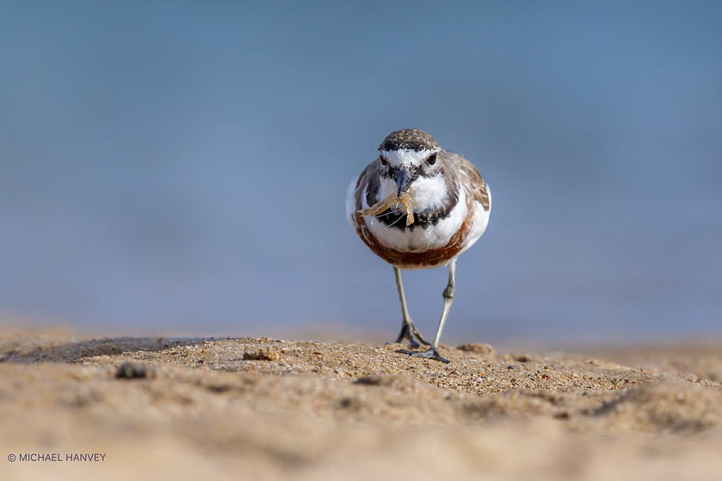 Plover and Prawn