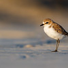 Red-capped Plover (f)