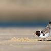 Hooded Plover (Thinornis rubricollis)