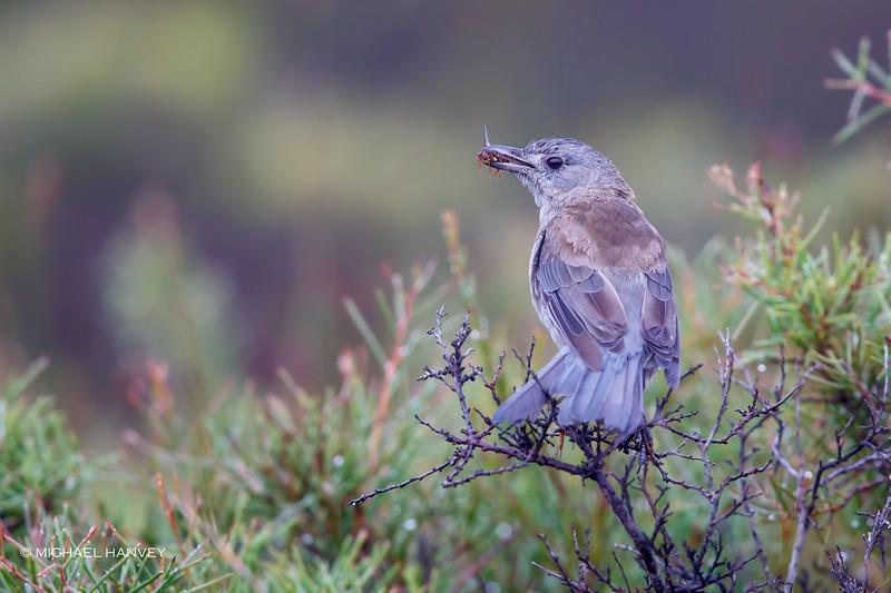 Grey Shrike-Thrush (Colluricincia harmonica)