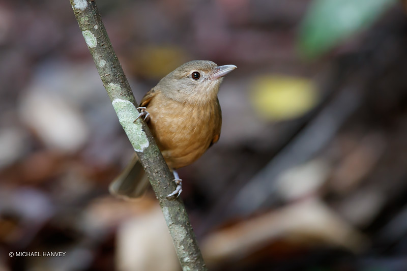 Little Shrike-Thrush (Collurcincla megarhyncha)