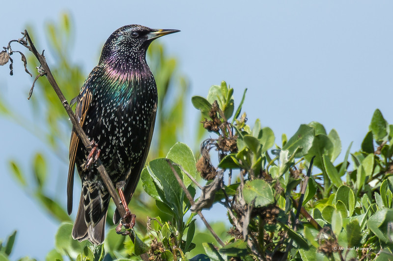 Common Starling (Sternus vulgaris)