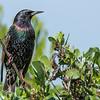 Common Starling (Sternus vulgaris)