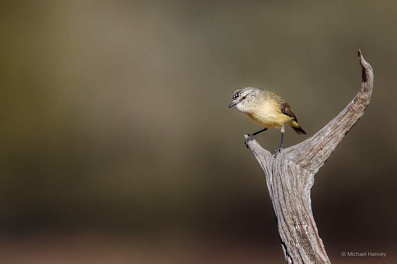 Yellow-rumped Thornbill (Acanthiza chrysorrhea)