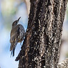 White-throated Treecreeper (Cormobates leucophaea)