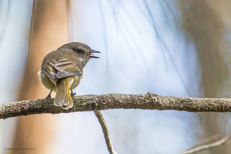 Golden Whistler (f) (Pachycephala pectoralis)