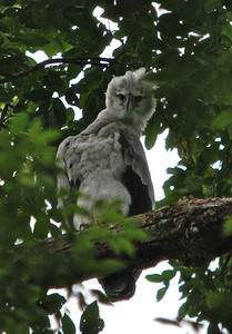 Harpy Eagle - Guyana, South America Rainforests