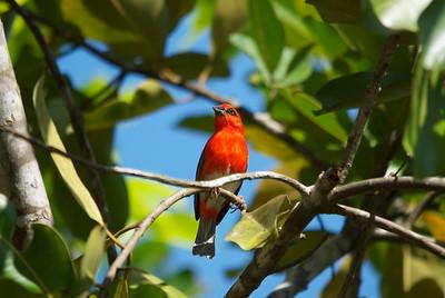 Red Fody (Foudia madagascariensis) - Madagascar
