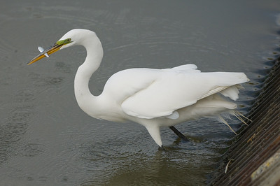 Snowy white egret fishing by the flow control gates
