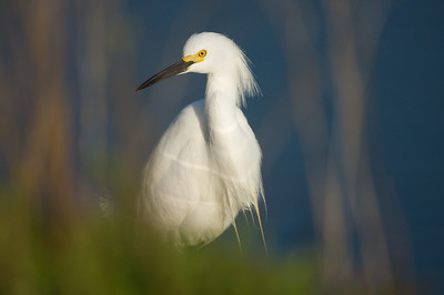 Hide and Seek with a snowy white egret